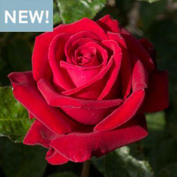 Ingrid Bergman Ingrid Bergman Rose Fragrance Growing Roses