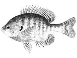 Bluegill Sunfish Tattoos Google Search Fish Pet Tattoos