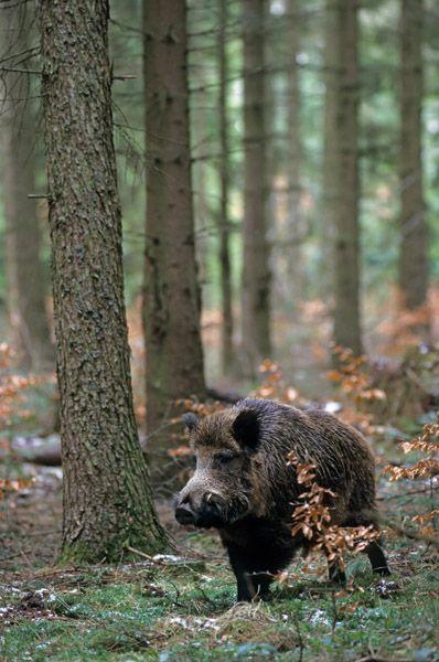Great Wildschweinkeiler im Schnee sucht entspannt nach Nahrung Schwarzkittel Wildschwein Sus scrofa Wild Boar tusker in snow searching for food u