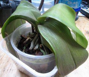 Orchidee Aux Feuilles Molles Et Ratatinees Jardinier Paresseux