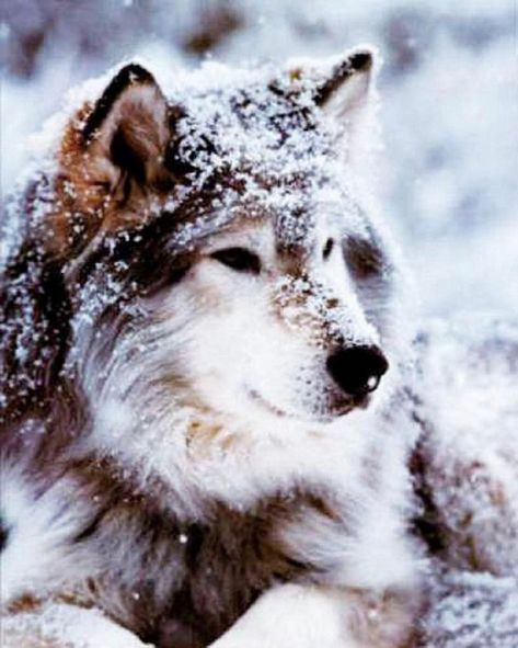Louve #louve #beautiful #snow #winter #wildlife #totemanimal #spirituallife #protection #protector #shamaniclifestyle #walkinbeauty #dreamer #love #medicine #shamane #gaïa #symbole #instinct #heart #connection #frequence #treeoflife #breathe #force #sweet #friend #wolffriend #photoweb #nature