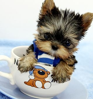 Yorkie Teacup Toy Puppies Available Now 240 312 3196 Virginia Beach For Sale Virginia Beach Pets Dogs In 2020 Cute Dogs And Puppies Cute Animals Cute Dogs