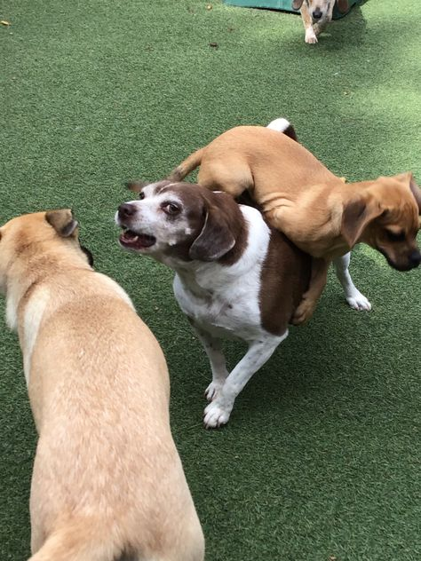 """Daisy: """"Umm...Calvin...I don't think that's the easiest way.."""" 😂😂😂 #GottaLoveDogs #PuppyPower #DoggieDaycare #FunWithDogs #DogGames #PuggleLove"""
