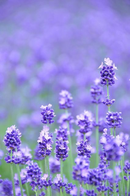 34 Different Types Of Purple Flowers For Your Garden Types Of Purple Flowers Lavender Flowers Purple Flowers
