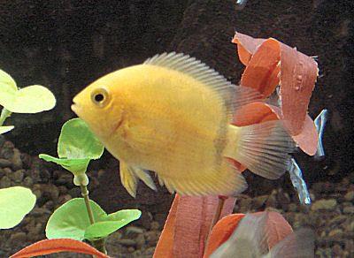 Golden Severum Heros Severus Banded Cichlid Fish Guide Cichlids Aquarium Fish Freshwater Aquarium Fish