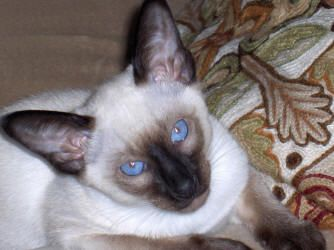 Siamese Cat Photo Gallery Suyaki Siamese Cattery Siamese Kittens For Sale In Florida Siamese Cats Blue Point Siamese Cats Siamese Kittens