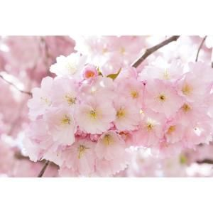 Online Orchards Accolade Cherry Blossom Tree Bare Root Flch004 The Home Depot In 2021 Japanese Cherry Tree Blossom Trees Ornamental Cherry
