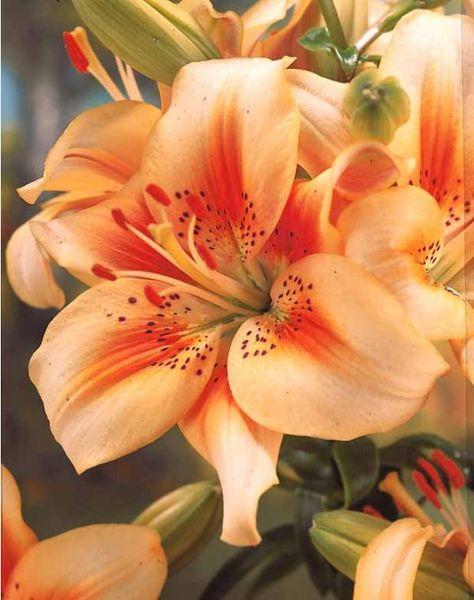 Lis Asiatique Grand Cru Fleurs Asiatiques Arts Et Loisirs