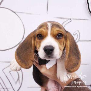 Puppies For Sale In 2020 Puppies For Sale Puppies French Bulldog Blue
