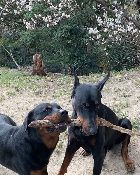 Best Doberman Toys ⚫⚫⚫ VISIT SITE TO LEARN MORE @ ThePetSupplyGuy.com  #thepetsupplyguy #pet #pets #animal #dog #dogs #puppy #puppies Video Credit: Doberman and Rottweiler Playing @sakiko812630 on IG
