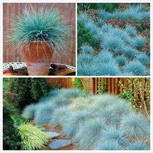 100Pcs Blue Fescue Grass Seeds Hardy Perennial Ornamental Easy Decor Grow