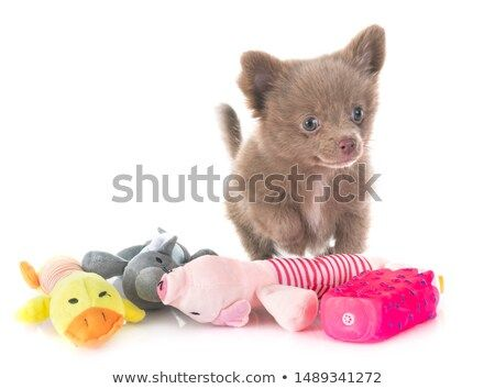 Stock Photo Young Pomeranian In Front Of White Background Pet