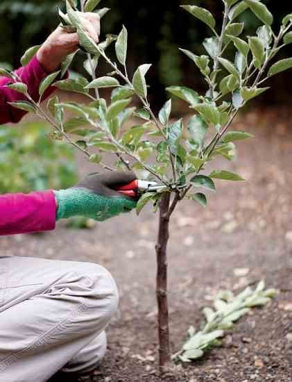 Create Small Fruit Trees With This Pruning Method Organic Gardening With Images Small Fruit Trees Dwarf Fruit Trees Fruit Tree Garden