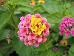 Lantana Camera Landmark Beautiful Full Sun Plant In 2020 Pflanzen Blumengarten Blumen