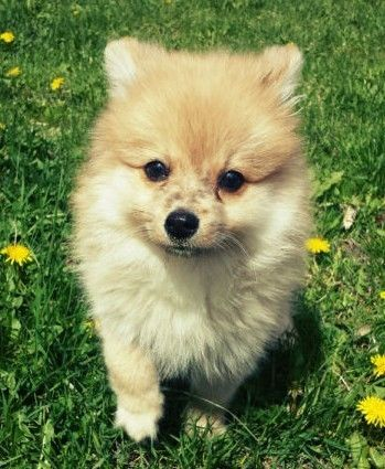 Purebred Male Pomeranian Puppy Dogs Puppies For Rehoming Ottawa Kijiji Dogs And Puppies Pomeranian Puppy Dogs
