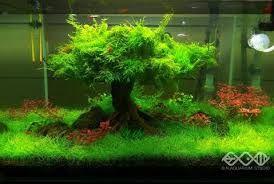 Image Result For Will Java Moss Grow Out Of Water Aquascape Aquarium Aquascape Planted Aquarium