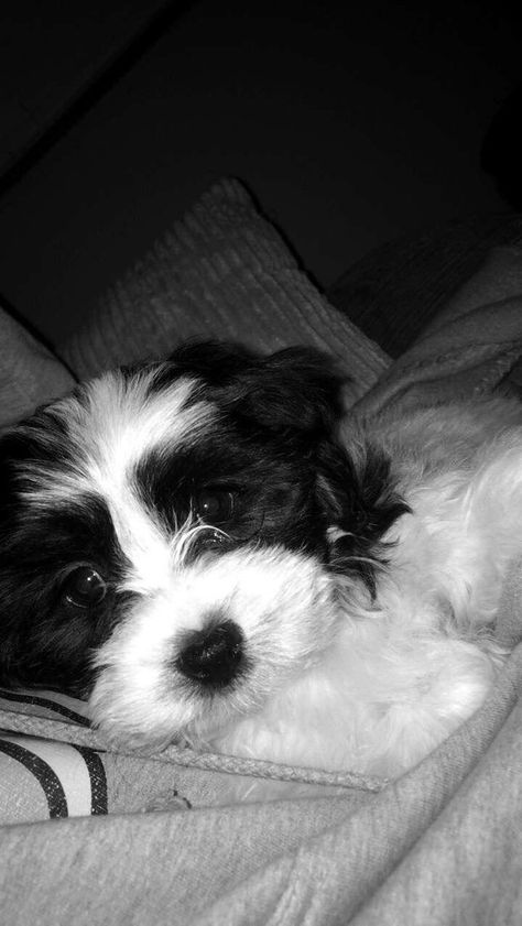 Shih Tzu X Bishon Frise Puppy For Sale In Andover Hampshire