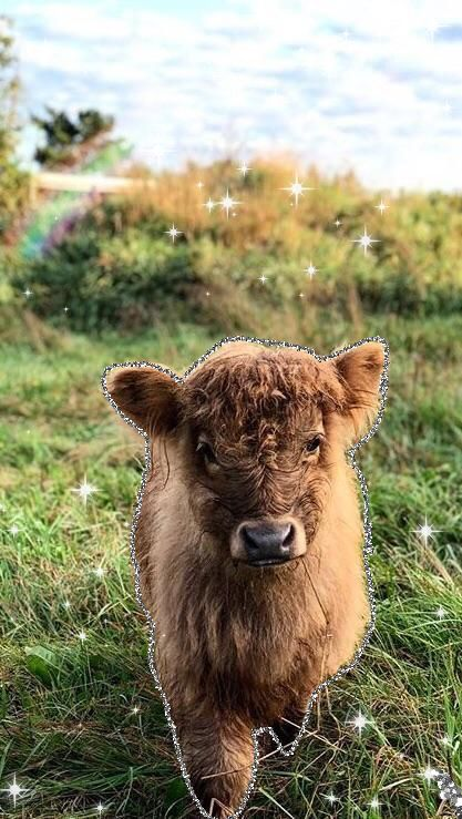 Baby Fluffy Cow Iphone Wallpaper Fluffy Cows Cow Animals