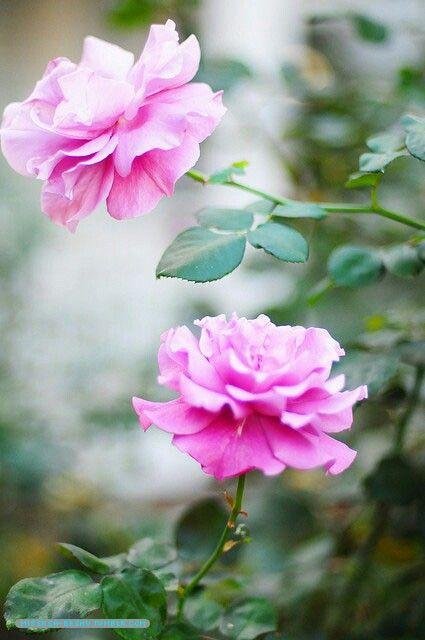 وردتين Dream Garden Rose Flowers