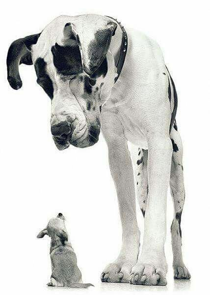Great Dane Looking Down At Chihuahua B W Photo By Tim Flach