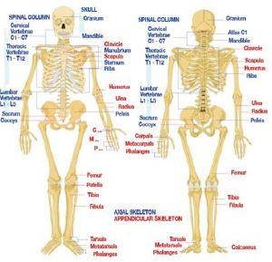 human body bones number | human body | pinterest | human body, Cephalic Vein