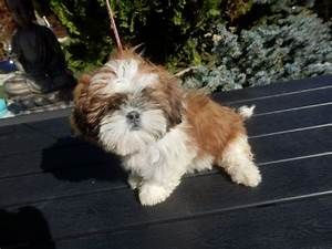 A Donner Chiot Type Shih Tzu Femelle Non Lof Mister Chien Dogs Animals Beautiful