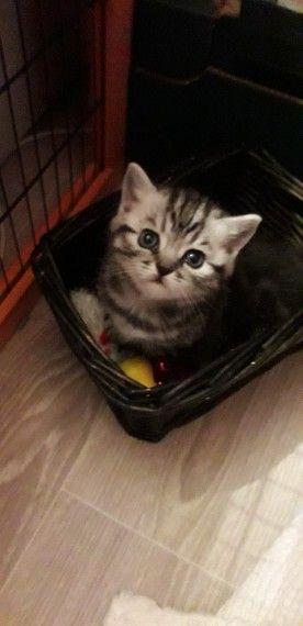 Gccf Black Silver Tabby British Shorthair Kittens British Shorthair Kittens Kittens British Shorthair