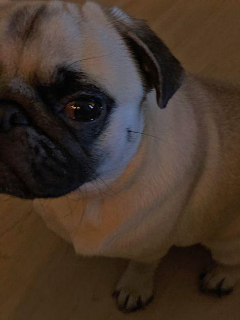#pug #puglife #pugsofinstagram #pugpuppies #pugoftheday #pugnation #mops #cutedog #dog #doglovers #chien #carlino