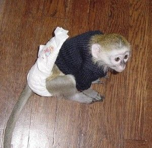 palyful capuchin monkey for free adoption - South Charleston