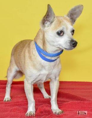 Yakima, WA - *Senior* Chihuahua  Meet Bruno a Dog for