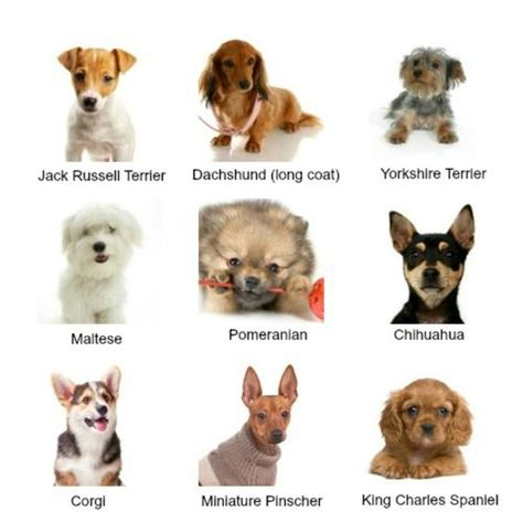 Small Dog Breeds With Pictures Collage Types Of Small Dogs Dog