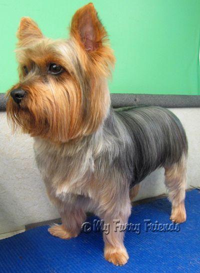 Pet Grooming The Good The Bad Yorkie Dogs Yorkie Yorkie Haircuts