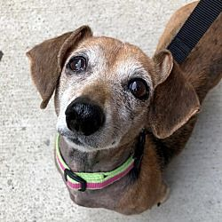 Pictures Of Allie A Dachshund For Adoption In New York Ny Who Needs A Loving Home Dachshund Adoption Dachshund Dachshund Mix