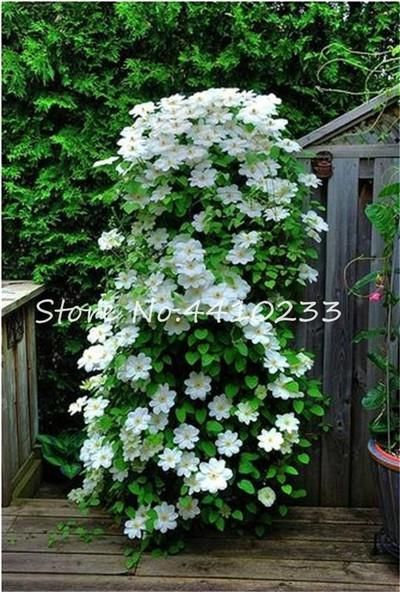 Bonsai 100 Pcs Colorful Clematis Bonsai Flower Climbing Clematis Vines Flower Outdoor Climbing Clematis Plants For Home Grden