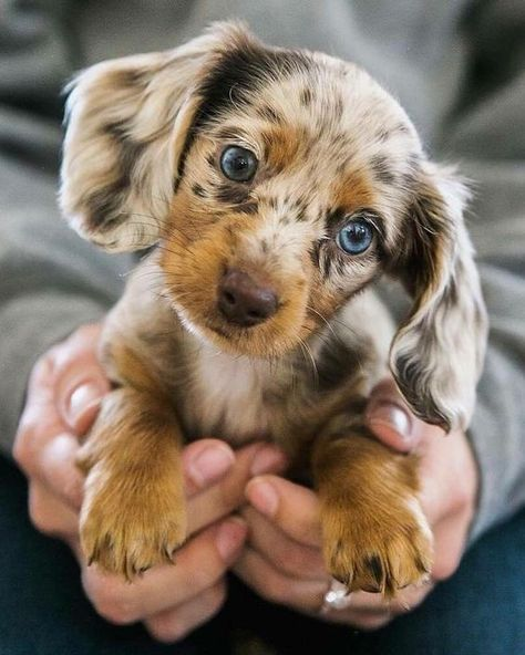 Everything You Need to Know About a Dachshund #dachshund #dogs #cutepuppies