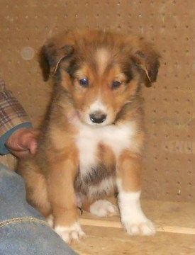 View Ad Details Adn 27596 English Shepherd American Farm Collie Pups In 2020 English Shepherd English Shepherd Puppy Puppies For Sale