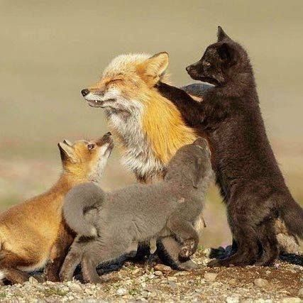 Foxes Love Little Foxes Check Out Our Site In The Profile