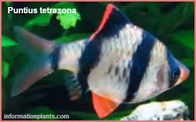 تايجر بارب او البارب النمري Tiger Barb سمك زينة انواع الاسماك معلومان عامه معلوماتية نبات حيوان اسماك فوائد Animals Fish Pet Pets