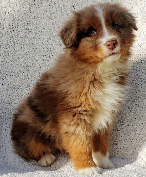 Kenya Australian Shepherd Puppy 586919 Puppyspot Australian