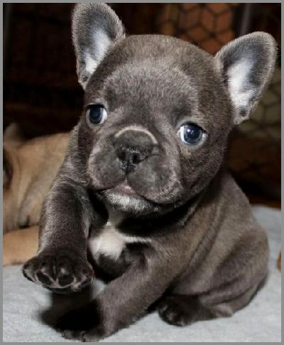 Beautiful French Bulldog Puppies Cute French Bulldog French
