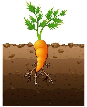 Ilustracion Del Vector De La Planta De Zanahoria Con Raices Ilustracion Subterranea Plantas Zanahoria Verduras Y Hortalizas Es la forma domesticada de la zanahoria silvestre, oriunda de europa y asia sudoccidental. zanahoria verduras y hortalizas