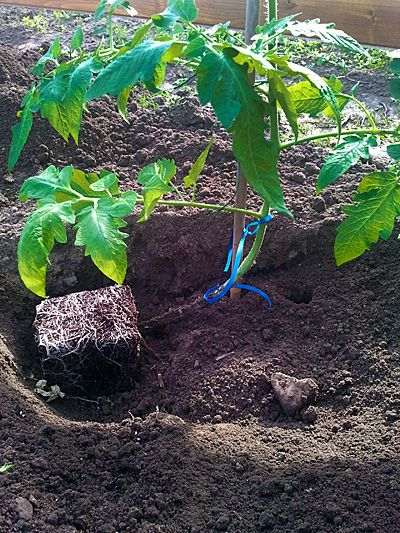 Tomate Liegend Gepflanzt Tomaten Pflanzen Tomaten Garten Tomatenpflanzen