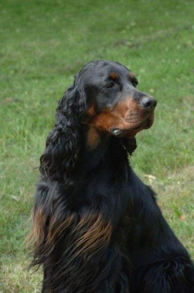 Gordon Setter Puppies For Sale Setter Puppies Gordon Setter Dogs And Puppies
