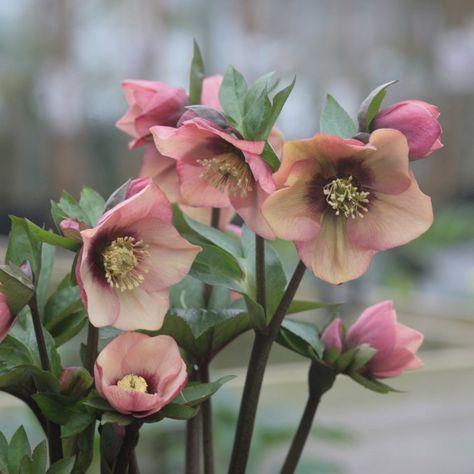 Hellebore d'orient Pêche Centre Rouge Promesse de fleurs