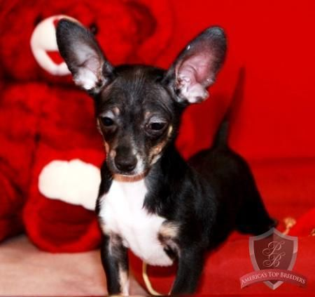 Trevor The Male Chihuahua Tennessee Chihuahua Breeders