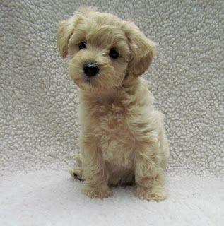 Growing Puppies Virginia Schnoodle Breeder Hypoallergenic Dogs Gallery Toy Puppies Schnoodle Puppies