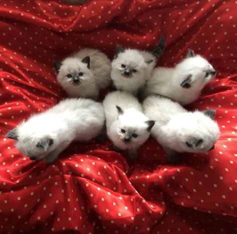 Gorgeous Purebred Ragdoll Kittens Ragdoll Kitten Cats And
