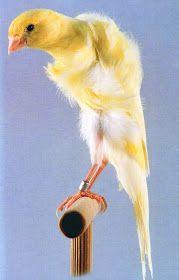 مدونة الطيور الجميلة Exclusive Canary Know All Kinds Of Pictures حصريا تعرف كل أنواع الكناري بالصور Canarios Pajaritos