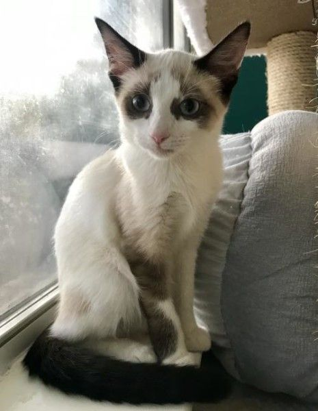 Siamese Cat For Adoption In Austin Texas Bamboo In Austin