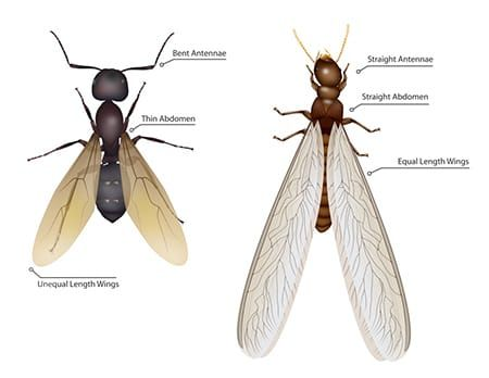 Termite Swarmer Vs Flying Ant Termite Swarmers Flying Ants